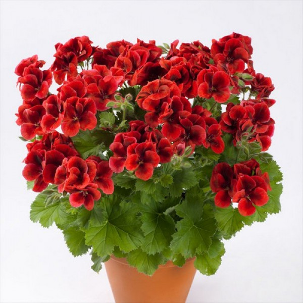 Candy Flowers Bright Red