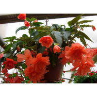 Bellaconia Hot Orange