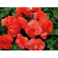 Solenia Red Orange